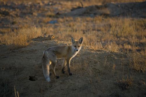 Baikonur Fox