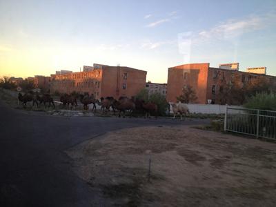 Intelsat 23 Campaign - Camel Stampede -Traffic Jam